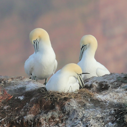 Vögel auf Helgolanf